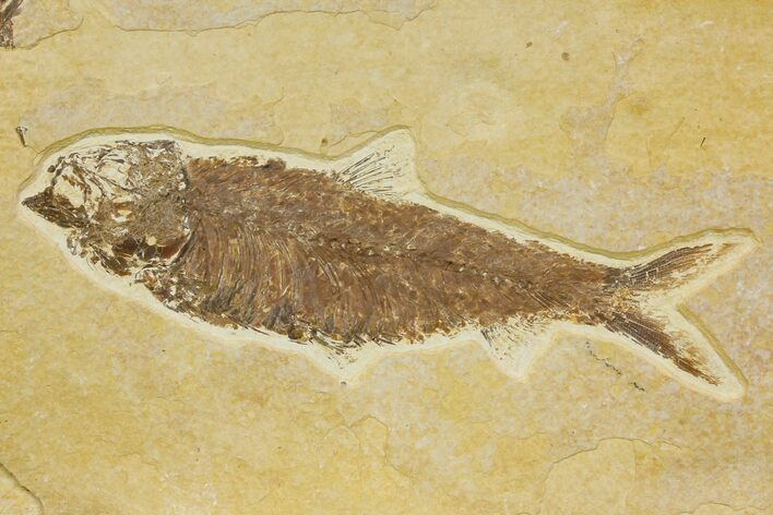 "5.6"" Detailed Fossil Fish (Knightia) - Wyoming"