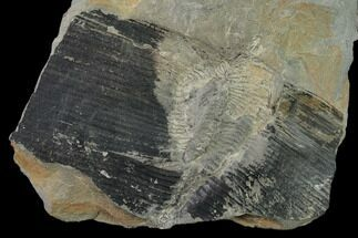 Calamites sp.  - Fossils For Sale - #136818