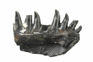 "Buy .38"" Permian Synapsid (Mycterosaurus) Jaw Section - Oklahoma - #136426"