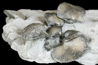 Unidentified Brachiopods - Fossils For Sale - #136983