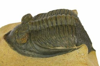 "3.2"" Zlichovaspis Trilobite - Atchana, Morocco For Sale, #137282"