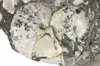 Two Iridescent Fossil Ammonites (Discoscaphites) - South Dakota For Sale, #137288