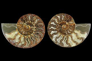 Cleoniceras - Fossils For Sale - #135264
