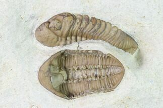 Buy Two Kainops Trilobites (One Ventral) - Black Cat Mountain - #137479
