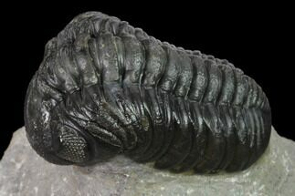 "2.2"" Austerops Trilobite - Nice Eye Facets For Sale, #137540"