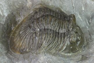 "1.45"" Scabriscutellum Trilobite - Morocco For Sale, #137576"