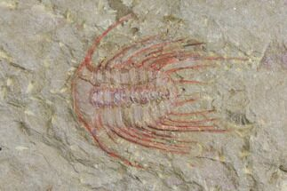 "Buy 1.55"" Red Selenopeltis Trilobite - Fezouata Formation - #137695"