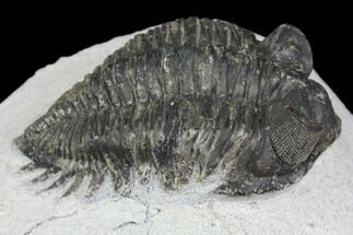 "Buy Bargain, 2.3"" Coltraneia Trilobite Fossil - Huge Faceted Eyes - #137704"
