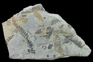 Neuropteris sp., Macroneuropteris sp. & Lepidodendron? - Fossils For Sale - #137733