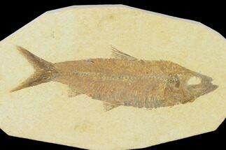"Buy 4.1"" Detailed Fossil Fish (Knightia) - Wyoming - #137965"