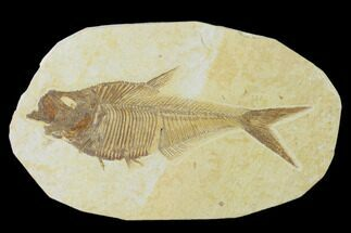 Diplomystus dentatus - Fossils For Sale - #137970
