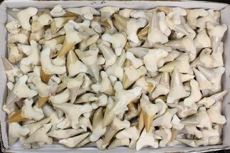"Buy Wholesale Lot - 1.5 to 2.5"" Otodus Shark Teeth (Restored) ~190 Pcs - #138181"