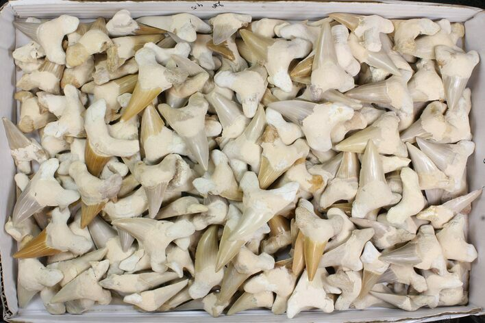 "Wholesale Lot - 1.5 to 2.5"" Otodus Shark Teeth (Restored) ~190 Pcs"