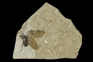Plecia pealei - Fossils For Sale - #138471