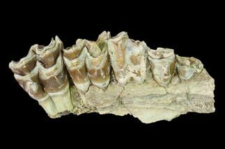 "Buy 3.2"" Oreodont (Merycoidodon) Jaw Section - South Dakota - #136030"