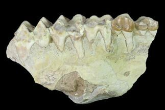 "2.9"" Oreodont (Merycoidodon) Jaw Section - South Dakota For Sale, #136031"