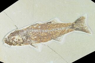 Mioplosus labracoides - Fossils For Sale - #138591