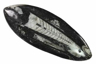 "4.3"" Polished Fossil Orthoceras (Cephalopod) - Morocco For Sale, #138338"