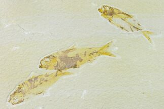 Buy Trio of Fossil Fish (Knightia) - Green River Formation - #138625
