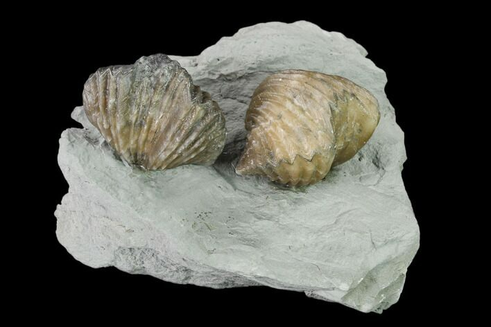 Two Fossil Brachiopods (Platystrophia) Mounted On Shale - Kentucky