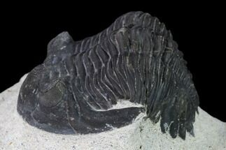 "Buy 2.4"" Detailed Hollardops Trilobite - Ofaten, Morocco - #138937"
