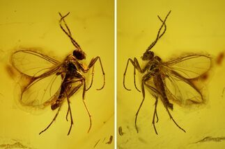 Fossil Fly (Diptera) In Baltic Amber For Sale, #139016