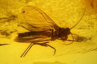 Fossil Fly (Diptera) In Baltic Amber For Sale, #139040
