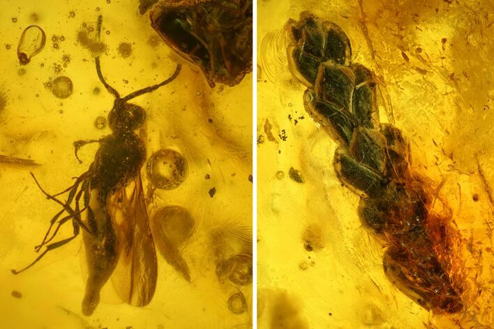 Detailed Fossil Fly (Diptera) & Thuja Twig in Baltic Amber