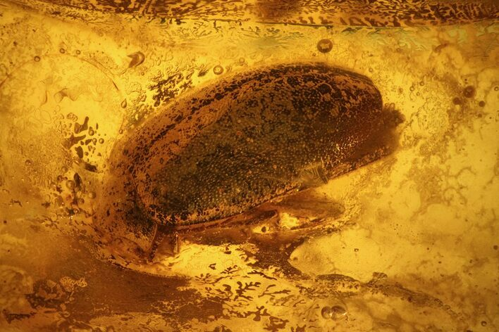 Detailed Fossil Beetle (Coleoptera) In Baltic Amber