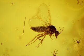 Fossil Fly (Diptera) In Baltic Amber For Sale, #139055
