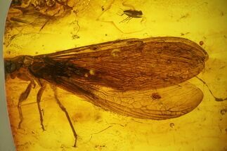 Order Isoptera  - Fossils For Sale - #139071