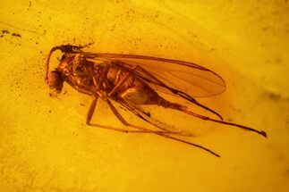 Buy Fossil Fly (Diptera) In Baltic Amber - #139075