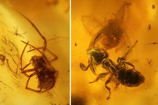 Fossil Ant (Formicidae) and a Spider (Araneae) In Baltic Amber For Sale, #139082