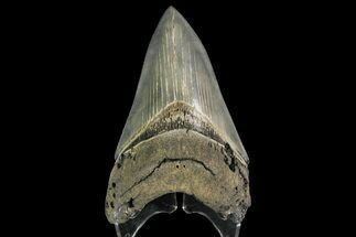 Carcharocles megalodon - Fossils For Sale - #138999