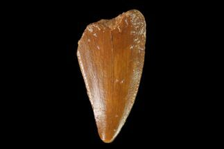 "Buy Bargain, .7"" Raptor Tooth - Real Dinosaur Tooth - #139366"