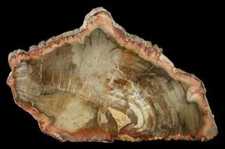 "5.3"" Petrified Wood (Araucaria) Slab - Madagascar  For Sale, #139592"