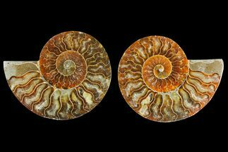 "Buy 4.35"" Agatized Ammonite Fossil (Pair) - Madagascar - #139726"