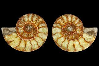 Cleoniceras - Fossils For Sale - #139728