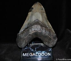 Huge, Serrated 6.25 Inch Megalodon Tooth For Sale, #185