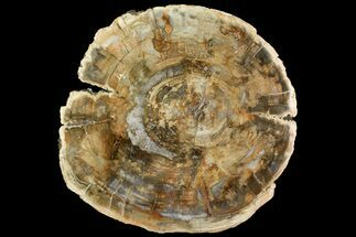 "12.3"" Polished Petrified Wood (Araucaria) Round - Madagascar  For Sale, #139775"