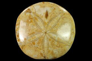 "Buy 3.3"" Polished Fossil Sand Dollar (Mepygurus) - Jurassic - #139915"