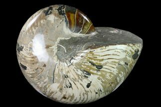 "Buy 8.2"" Polished Fossil Nautilus (Cymatoceras) - Madagascar - #127144"