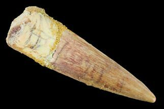"Buy 1.86"" Spinosaurus Tooth - Real Dinosaur Tooth - #140746"
