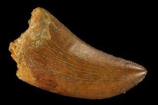 "Serrated, 1.01"" Juvenile Carcharodontosaurus Tooth - Morocco For Sale, #140678"