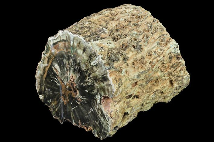 "7.1"" Triassic Petrified Wood (Woodworthia) Log - Zimbabwe"