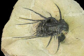 Dicranurus monstrosus - Fossils For Sale - #142140
