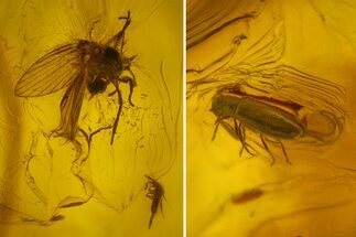 Buy Fossil Fly, Springtail and Beetle In Baltic Amber - #142189