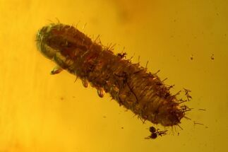 Fossil Beetle Larva (Coleoptera) and Leaf in Baltic Amber For Sale, #142205