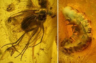 Buy Detailed Fossil Millipede (Diplopoda) & Fly (Diptera) in Baltic Amber - #142216