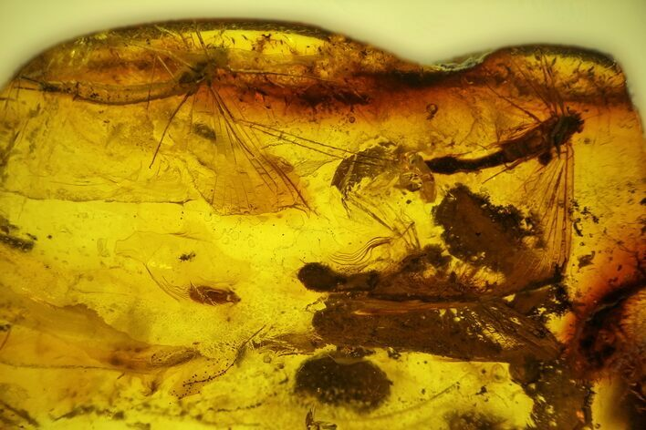 Three Partial Fossil Mayflies (Ephemeroptera) In Baltic Amber